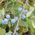 Trnjina samoniklo šumsko voće