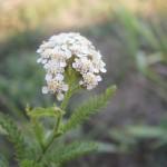 Hajdučka trava za brže zarastanje rana
