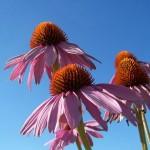 Ehinacea biljka za jačanje imuniteta