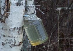 brezov sok