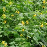 Rusa trava, biljka rosopas za bradavice