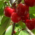 Čaj od peteljki trešnje i višnje