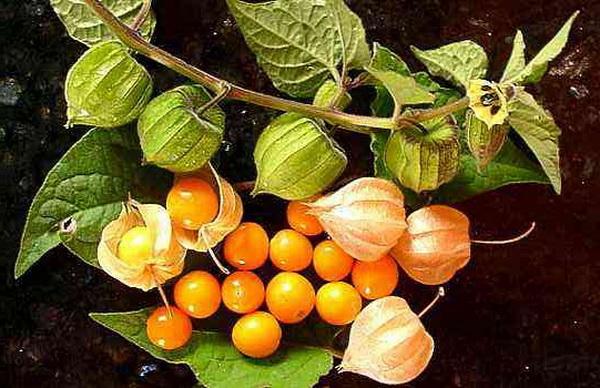 peruanska jagoda