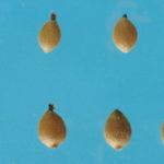 Seme koprive i med za anemiju
