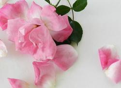 latice ruza