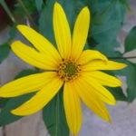 Čičoka biljka uzgoj prodaja priprema recepti kao lek