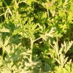 Mirisna pelargonija eterično ulje geranijuma