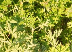 mirisna pelargonija