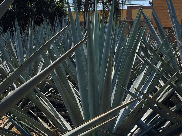 plava agava