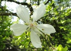 sibirski limun cvet