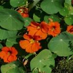 Dragoljub biljka kao lek
