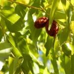 Žižula voće kineska urma ili datula sadnice i uzgoj