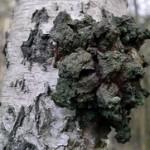 Sibirska čaga gljiva uništava ćelije raka