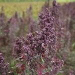 Kinoa (kvinoja) cena recepti priprema sastav