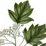 Brekinja drvo i čaj kao lek