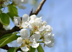 kruska cvet