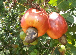 kesu jabuka