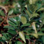 Srebrna svilenica biljka koja razara šećer u krvi