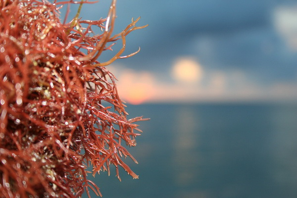 crvene alge