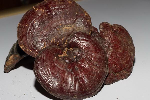 genoderma lucidum