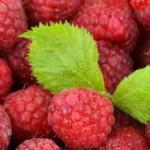 Malina vilamet – sadnja letnje sorte visokog prinosa