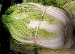 Napa cabbage brassica rapa subsp pekinensis