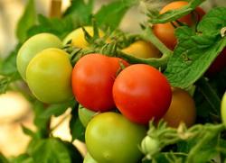 uzgoj paradajza