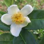 Žuti čaj – redak napitak sa carskog dvora