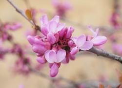 judino drvo cvetovi