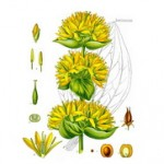 Biljka lincura kao lek – koren čaj i rakija