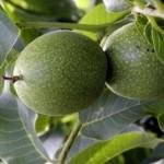 Sadnja uzgoj i sorte oraha