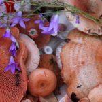 Rujnica gljiva slike i recepti