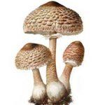 Sunčanica gljiva – Macrolepiota procera