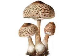 suncanica gljiva