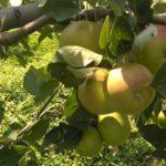 Kompot od jabuka za zimnicu recept kako se pravi