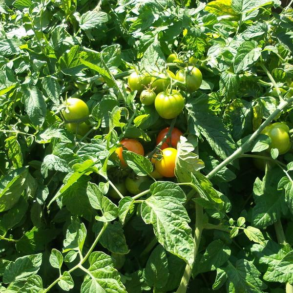 prskanje-paradajza