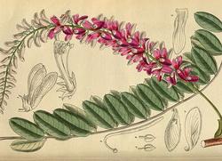 indigo-biljka