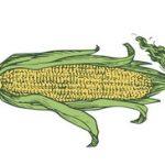 Šta je gustin ili kukuruzni skrob cena i kako se koristi