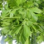 Peršun kao začin povrće i lek