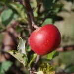 Jabukovo sirće za kosu i mršavljenje
