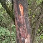 Afrička šljiva drvo lekovite kore