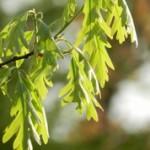 Čaj od hrastove kore – Hrastova kora