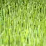 Sok od zelenog žita ječma i pšenice