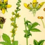 Petrovac biljka ili ranjenik trava