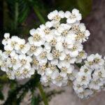 Hajdučka trava priprema čaja latinski naziv kao lek
