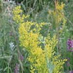 Ivanjsko cveće kao lek i čaj za štitnu žlezdu