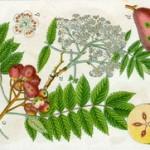 Oskoruša voće kao lek i upotreba