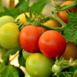 Sadnja i uzgoj paradajza na otvorenom rasad i sorte