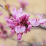 Judino drvo uzgoj i slike – Cercis Siliquastrum