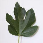 Smokvin list kao lek i čaj od smokvinog lista